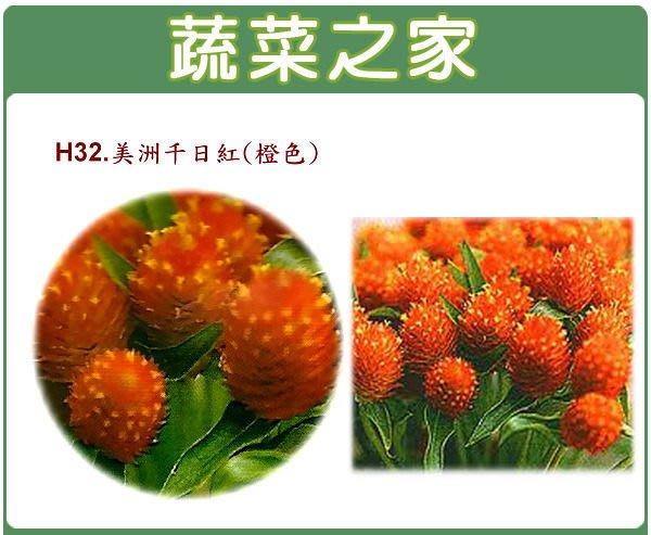 【蔬菜之家】H32.美洲千日紅種子20顆(橙色,高50~70cm.花卉種子)