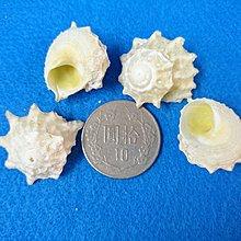 【鑫寶貝】貝殼DIY 石灰星螺 口徑0.5~1cm 可DIY貼圖 水族造景、盆栽造景、貝殼收藏 四顆30元