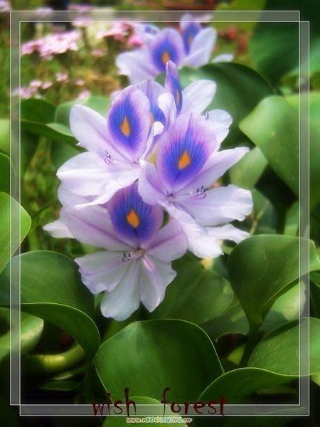 WISH FOREST【水生植物/布袋蓮】小朵2朵30元.圓嘟嘟的葉子小朋友的童趣