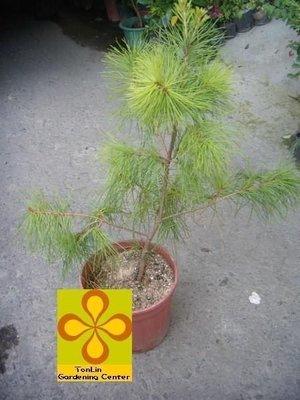 ╭☆東霖園藝☆╮松樹(科)-五葉松(台灣五葉松)-三年苗栽--盆景-庭園樹