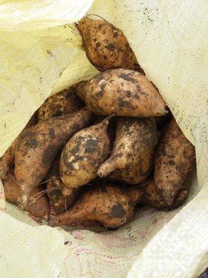 水林新鮮台農57號黃肉地瓜大條,10斤250元