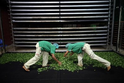【炒茶天師】高山手摘金宣烏龍綠茶~阿里山風味~ 純天然,無污染的純淨茶~營業用批發$400/斤~$12000/30斤