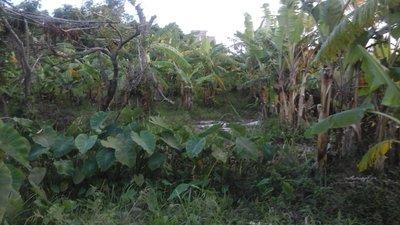 香蕉苗  水果樹苗 一望無際