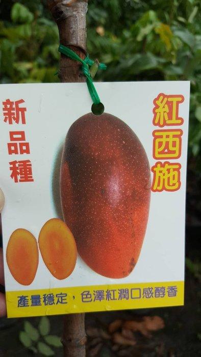╭*田尾玫瑰園*╯新品種樹種-(紅西施芒果)4吋2尺300元