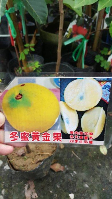 ╭*田尾玫瑰園*╯新品種水果苗-(冬蜜黃金果)40-50cm800元