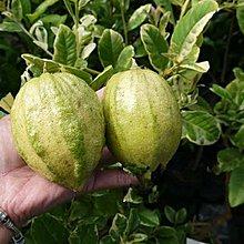 水果苗 **斑葉檸檬 **6吋盆/高50cm/令人身心愉悅的花果盆栽/1入