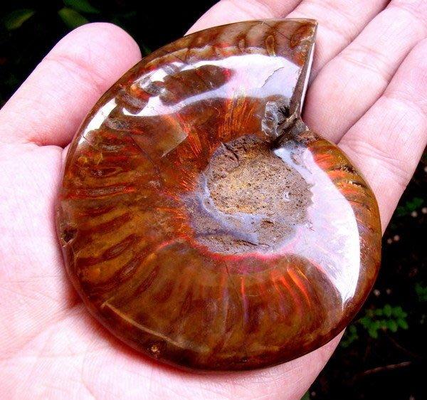 小風鈴~天然頂級七彩斑彩螺化石擺件(重194g)李居明推薦餓火命之風水螺!強烈紫紅光