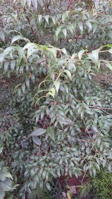 錦山苗圃阿根廷樹葡萄