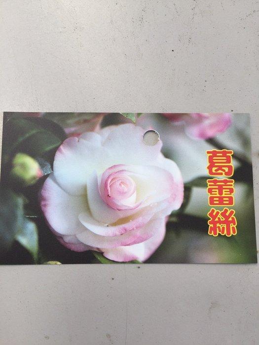 ╭*田尾玫瑰園*╯茶花--(葛雷絲)(紫羅蘭)(廣東粉)(粉九曲)30cm60元