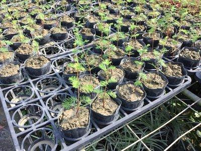 樹苗.灌木~落羽松~3吋袋苗/高5-10公分~花精靈植物的家