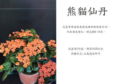 心栽花坊-熊貓仙丹/5吋/仙丹/觀花植物/綠籬植物/售價120特價100