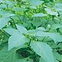 【野菜部屋~ 中包裝】A15 烏甜子種子25公克 ...
