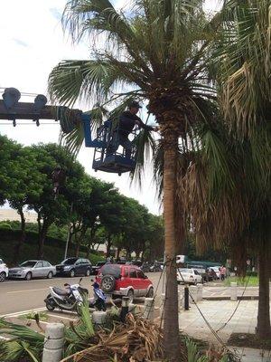 (青山園藝) 專業鋸樹木  修剪樹木  割草  庭園維護  病蟲害防治
