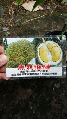 ╭*田尾玫瑰園*╯新品種水果苗-(黑刺榴槤)1尺高6500元/株