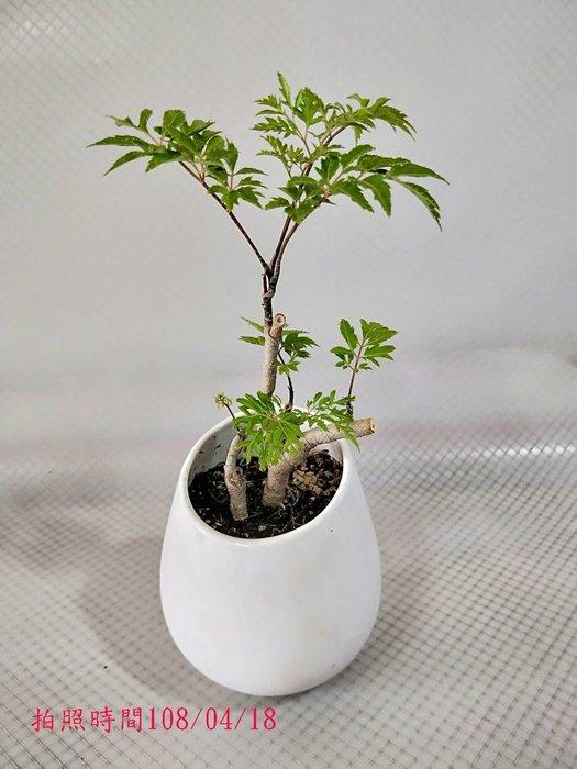 易園園藝- 羽葉福祿桐樹F21(福貴樹/風水樹)室內盆栽小品/盆景高約25公分