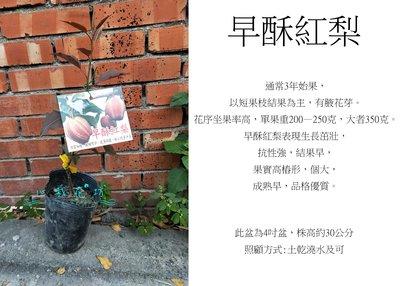 心栽花坊-早酥紅梨/梨子/水果苗/嫁接苗/售價700特價600