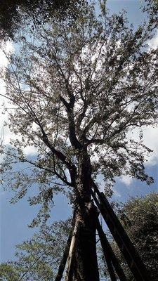 【竹林農莊】紅雞油 台灣櫸木 ... 庭園樹... 已被收藏囉!