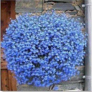 【小鮮肉肉】花卉種子四季易播 藍色翠蝶花 種子10粒 垂吊花 六倍利 山梗菜