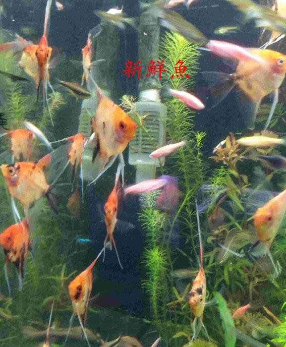 ~新鮮魚水族館~實體店面 威罕 紅魔鬼 神仙 肉身約50元硬幣 6隻1000 歡迎自取