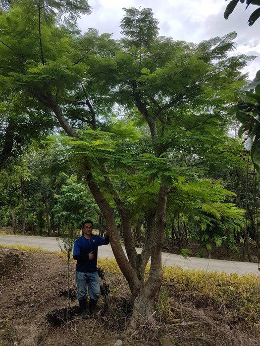 (青山園藝) 鳳凰木 頭俓約70cm   象牙木肖楠紫檀黑松真柏桂花黃楓羅漢松七里香