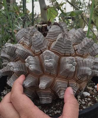 南非龜甲龍,塊根型多肉植物種子(五顆裝)