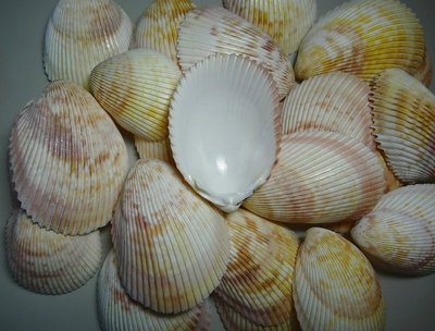 【阿草雜貨舖】-*長鳥尾蛤-單片---特價供應*- 67mm~91mm, 產地:菲律賓