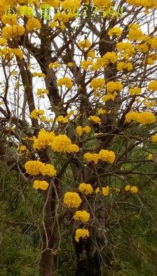 黃金風鈴木5尺200紅花風鈴木4尺150移植袋自取自力耕作產地同業價