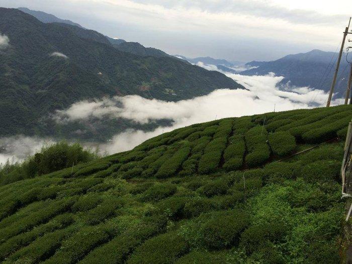 【極上茶町】嚴選把關好茶~《玉山茶區》玉山焦糖烏龍  高山茶 烏龍茶 100%台灣茶 『 半斤』
