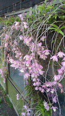 ╭☆東霖園藝☆╮蘭花(天宮石斛)石斛 .1吋袋苗....倒吊蘭.....目前無開花