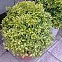 花花世界_綠籬植物- -  黃金金露花(球狀)- - 50...