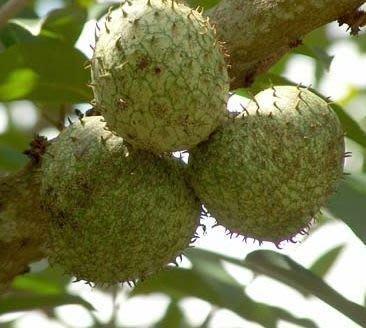 ╭☆東霖園藝☆╮水果苗--羅李亮果(山刺番荔枝)-可製冰淇淋