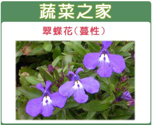 【蔬菜之家】H29.翠蝶花種子50顆(蔓性攀爬類.花卉種子)