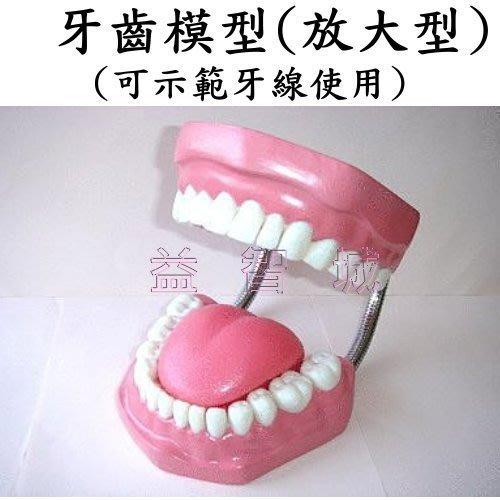 益智城新館《教學人體模型/教學模型/刷牙教學/刷牙示範/牙齒放大模型》牙齒模型/牙模型(放大型,具齒縫,可示範牙線使用)