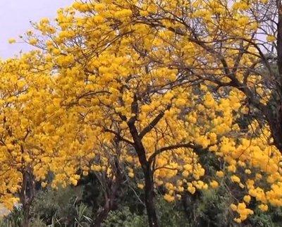 黃金風鈴木/4吋/觀花植物/綠化植物/綠籬植物/45公分