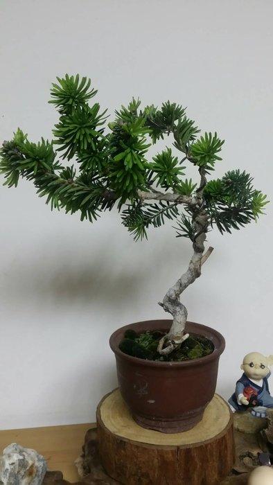台中瘋小品-小品盆栽-翡翠油杉-01-特價