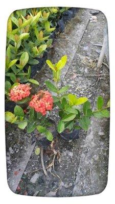 粉紅色仙丹花、橘紅色仙丹花、黃金色仙丹花苗熊貓仙丹家族系列太空包苗