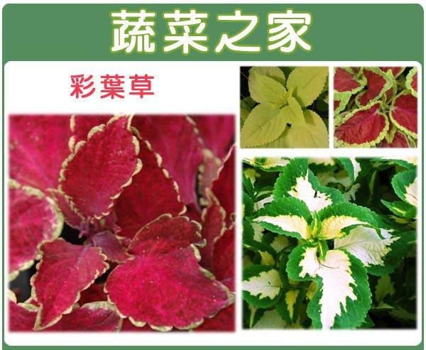 【蔬菜之家】H27.彩葉草種子50顆(混合色,高40~50cm.花卉種子)