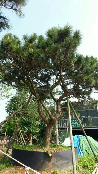 (青山園藝)大黑松 米俓約25~28cm.高度5~6米. 真柏油杉九芎櫻花羅漢松流蘇
