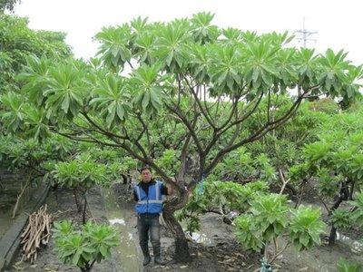 (青山園藝)白水木.高大有曲線.頭徑約20~30cm.  真柏龍柏桂花油杉黑松雪松雞蛋花櫻花含笑