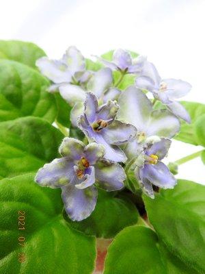 堤緣花語陶-淨化室內空氣植物-非洲紫羅蘭 Tiyuans Firefly 螢火蟲 [台灣育種]