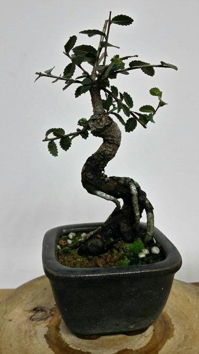 台中瘋小品-小品盆栽-榆樹-3-特價