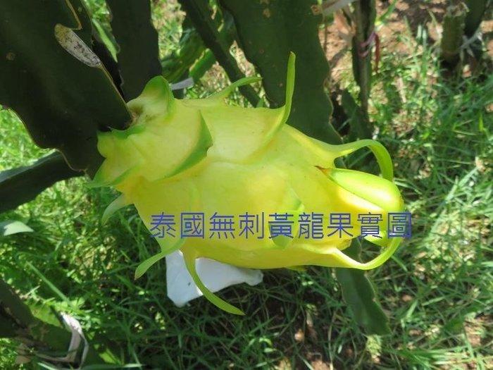 泰國無刺黃龍枝條  大果品種  五支特價1000元 黃龍果、火龍果<下標前請先發問 >
