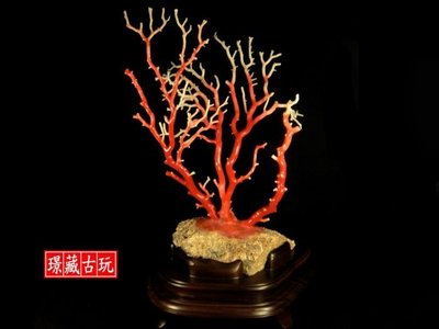 ﹦≡|璟藏古玩|正宗天然深海阿卡級紅珊瑚樹擺件-(高27公分-總重:547g)(保真海珊瑚,決非沙丁或海竹喔)(直購價)