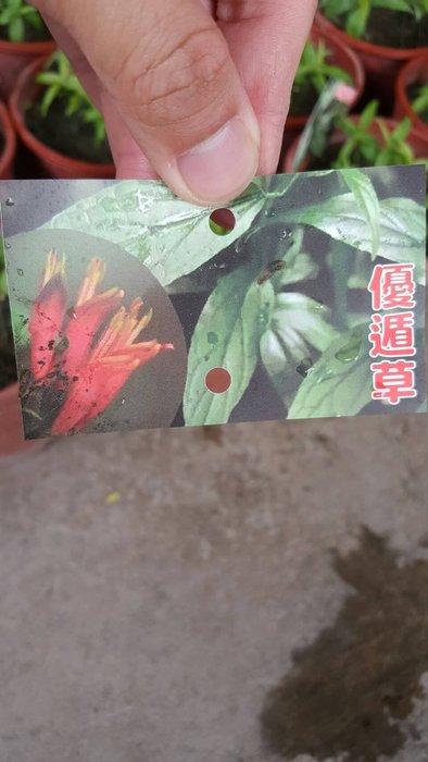 ╭*田尾玫瑰園*╯新品種樹苗-憂遁草(沙巴蛇草).120元/盆