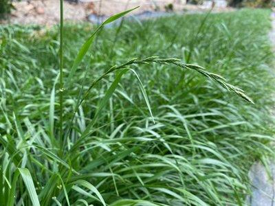 JHS((金和勝 小農))無毒有機 新鮮現割 嫩葉乾草 黑麥草 150g裝 0607