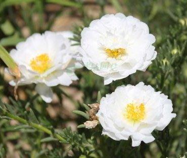 白仙子太陽花種子10入K510