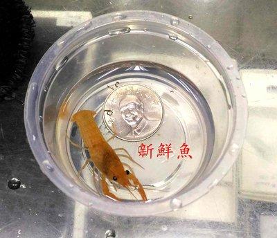 ~新鮮魚水族館~實體店面 螯蝦 橘螯 藍螯 白螯 約3~5公分 健康穩定 一隻70 購買前先指定