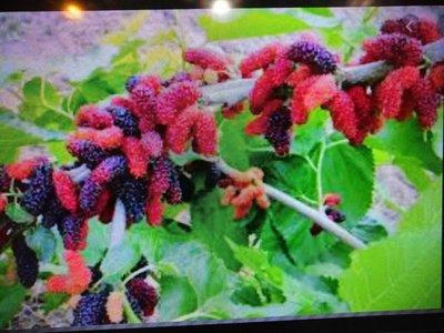 超級會生果實的桑椹樹便宜賣優惠超商取貨免運費喜歡全日照多肥就會生果實一盆只賣200元超商取貨免運費數量有限好種植