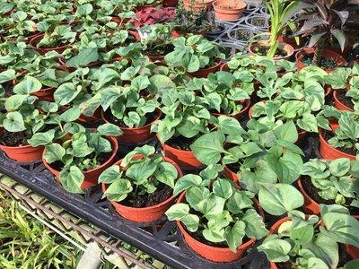 香草.多年草本~魚腥草-折耳根~3吋/高3-5公分~天然抗生素-花精靈植物的家