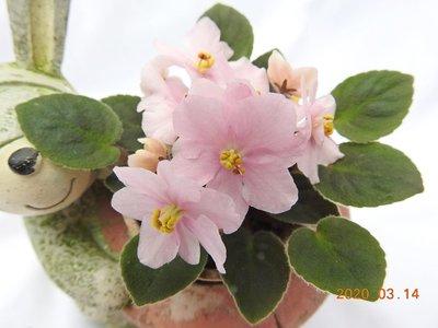 堤緣花語陶-淨化室內空氣植物-非洲紫羅蘭 Rob's Itty Bitty
